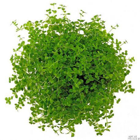 Микрантемум «Монте Карло» – Micranthemum sp. «Monte Сarlo»