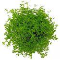 Микрантемум «Монте Карло» – Micranthemum sp. «Monte Сarlo-3»