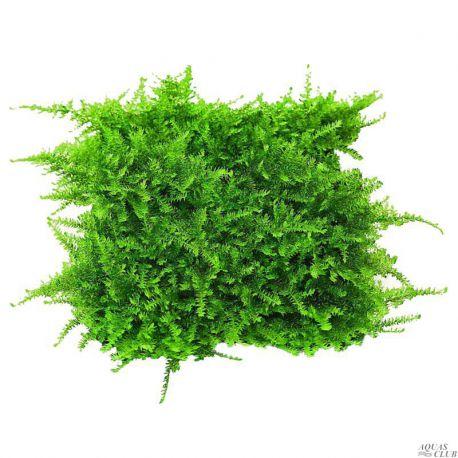 Мох Рождественский – Moss Christmas