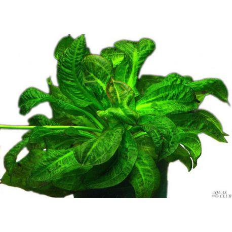 Эхинодорус парвифлорус Тропика – Echinodorus parviflorus Tropiсa