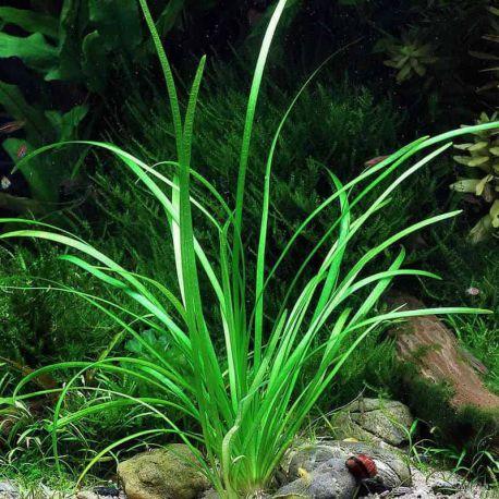 Сагиттария субулата – Sagittaria subulata