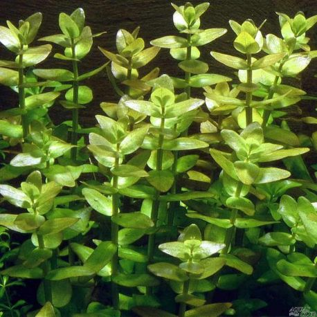 Бакопа каролинская – Bacopa caroliniana