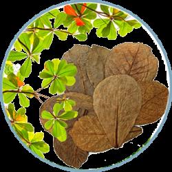 Catappa leaves – Листья индийского миндаля